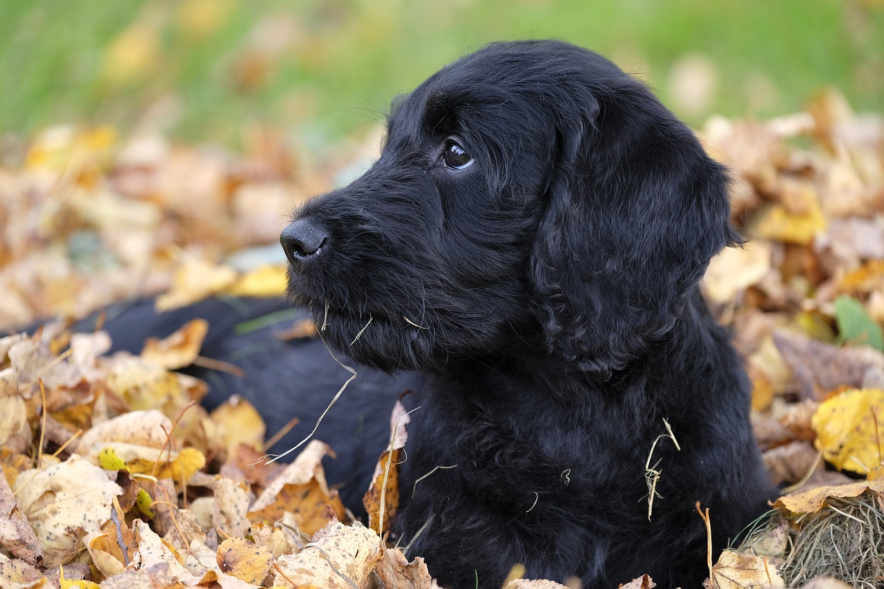 black labradoodle laying in leaves