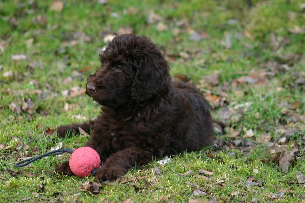Black labradoodle playing with ball
