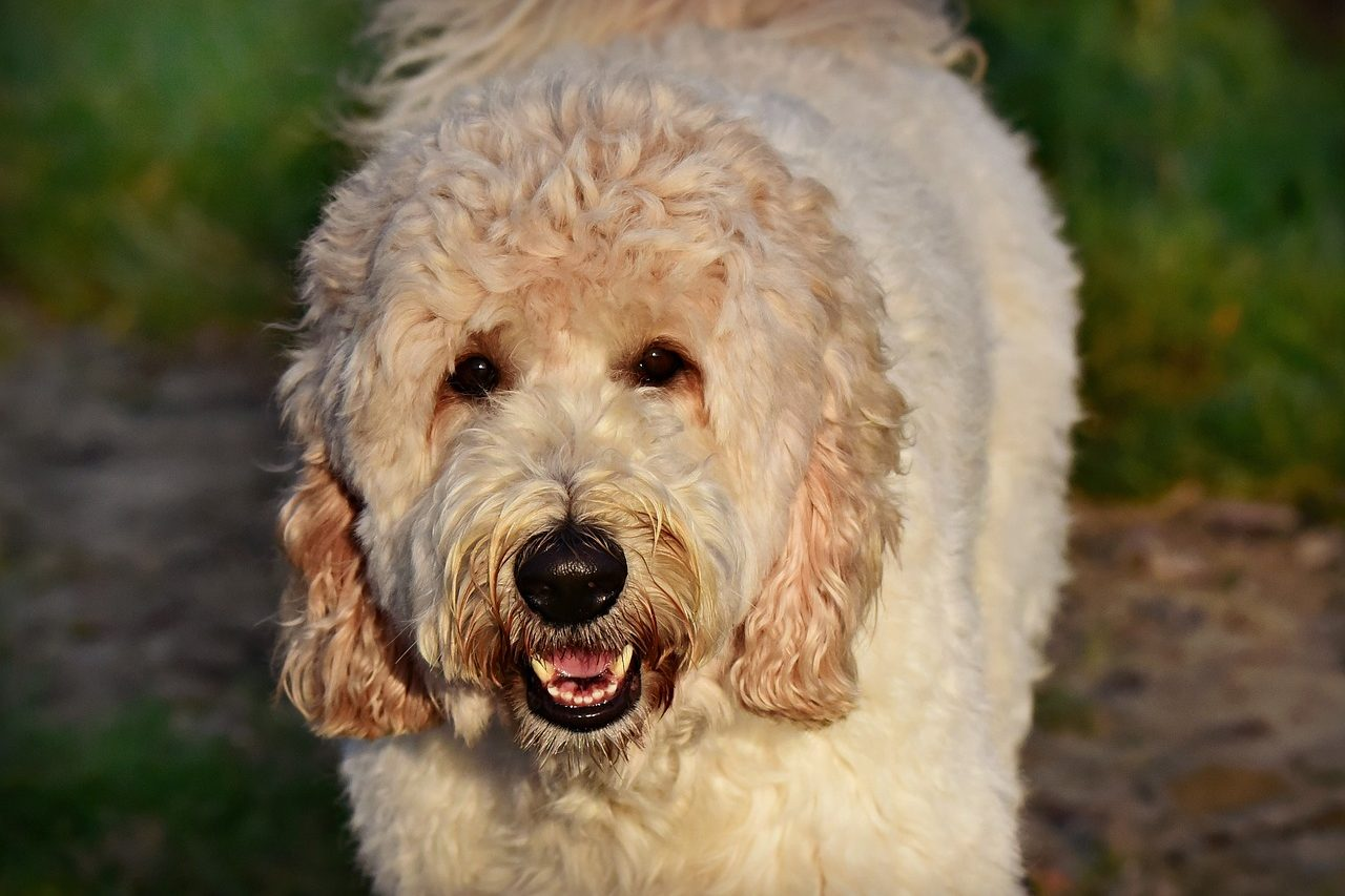 heavy coat white labradoodle dog