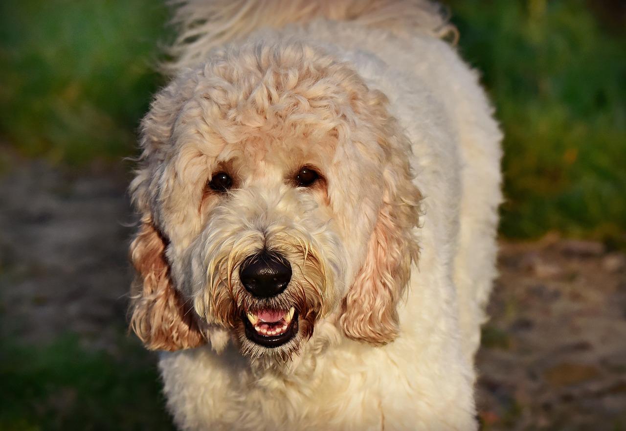 heavy coat white labradoodle dog