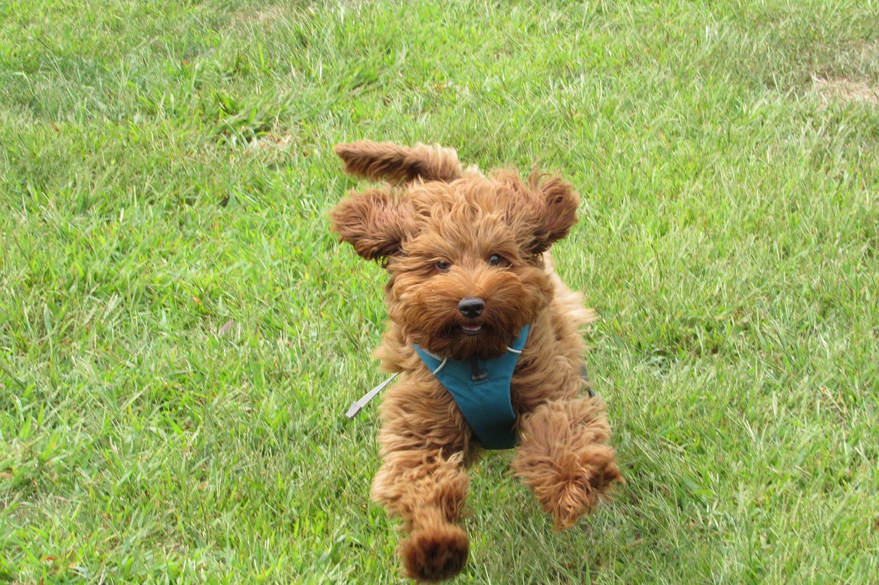labradoodle dog running