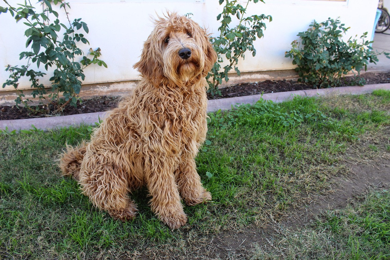 labradoodle dog sitting on grass