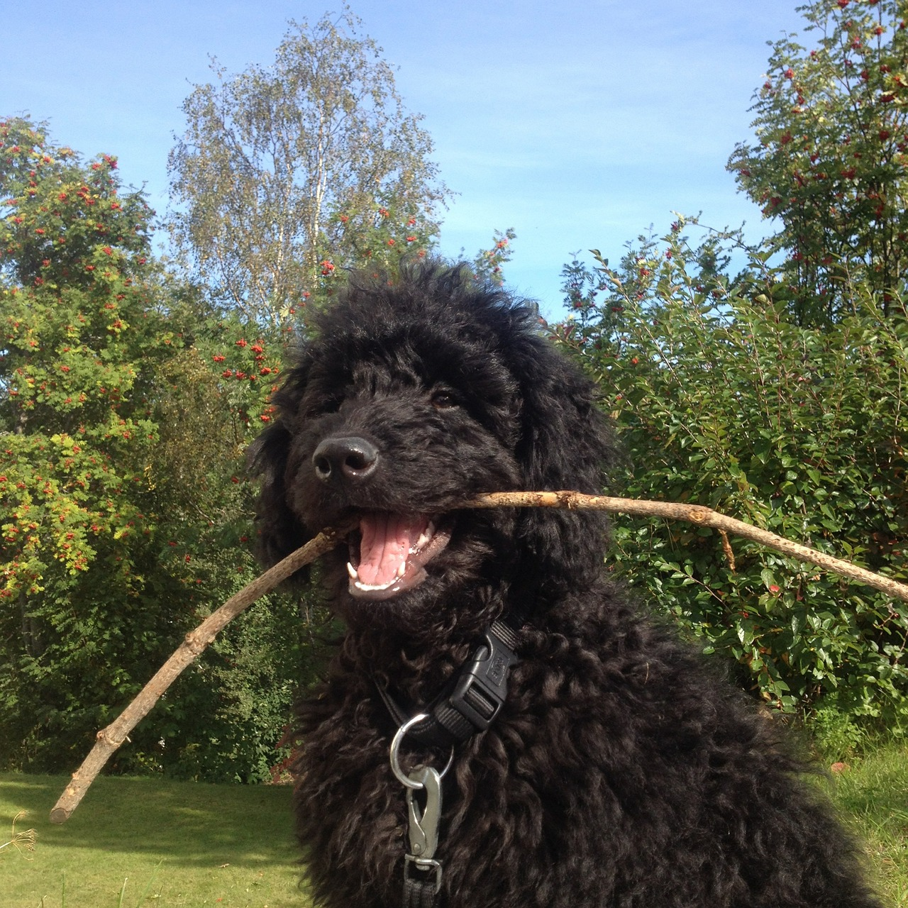 labradoodle dog with stick in mouth
