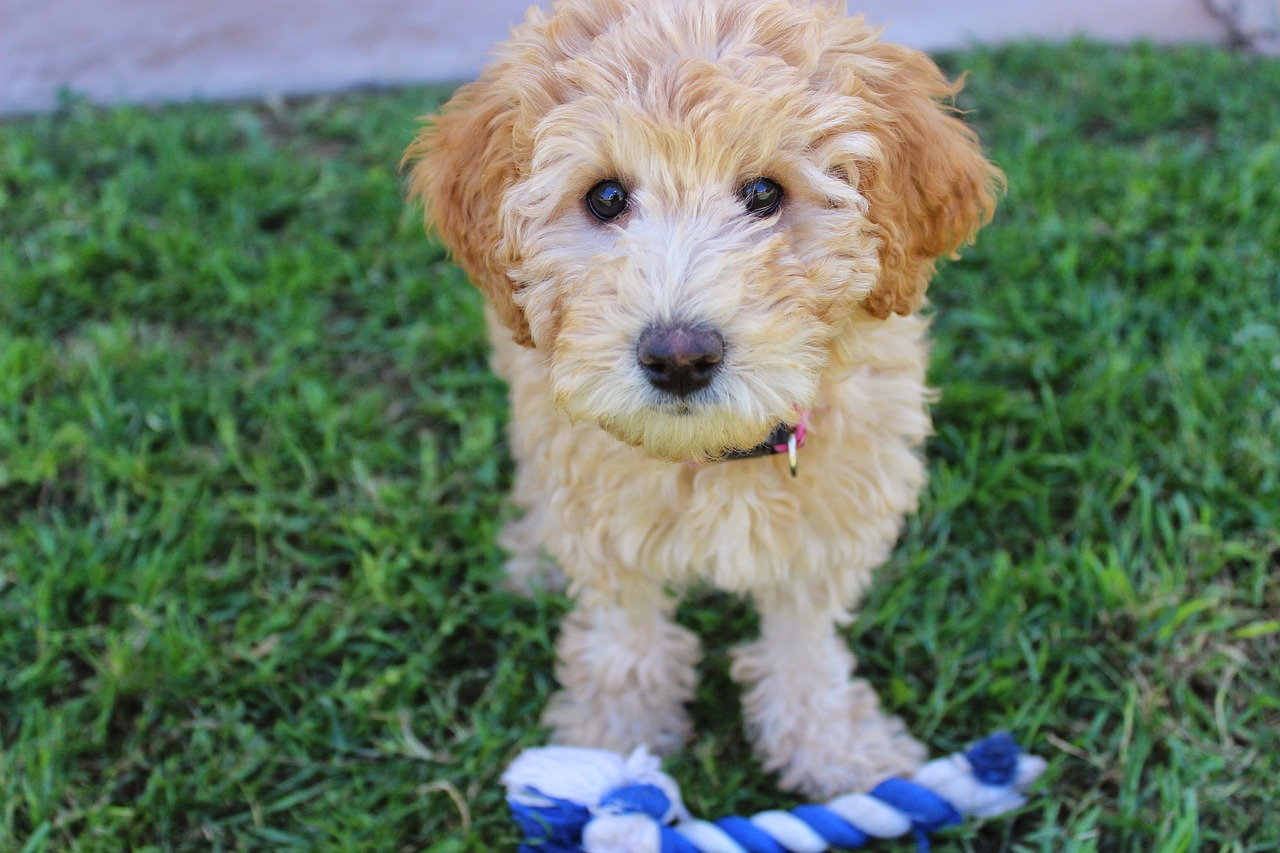 labradoodle puppy dog with rope