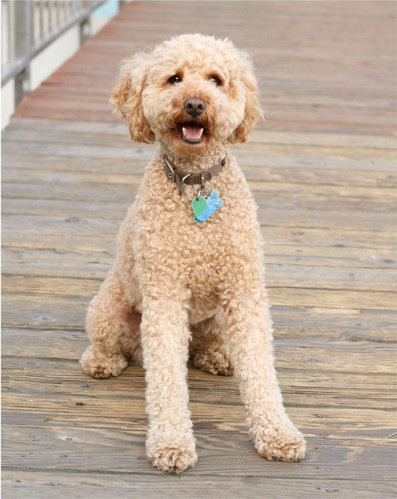 labradoodle standing after exercise