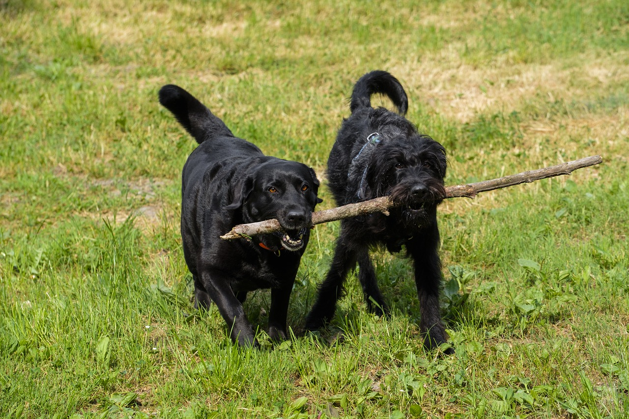 two labradoodle running with a stick