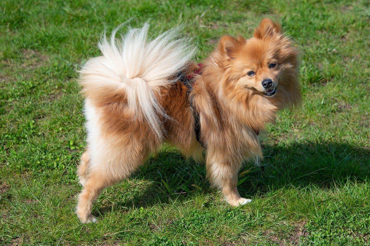 Brown Pomeranian dog standing on grass