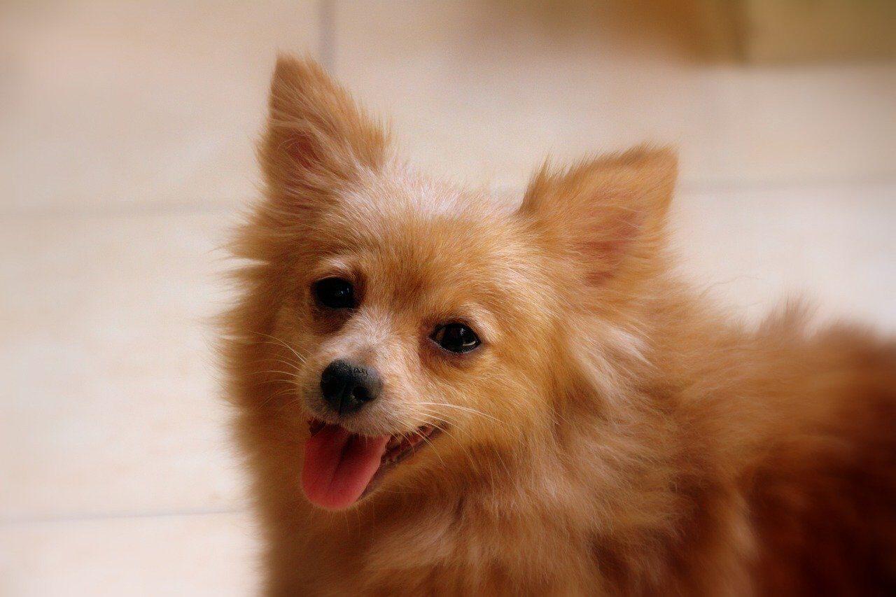 Brown Pomeranian happy outside