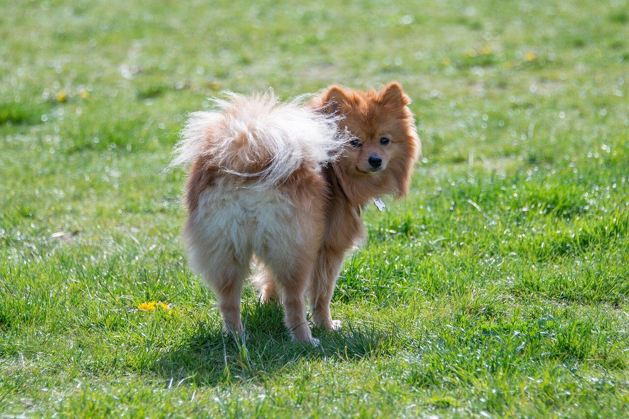 Brown Pomeranian looking back at owner