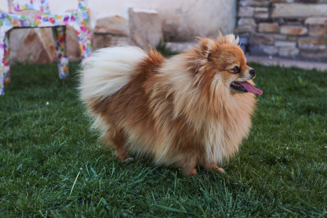 Brown Pomeranian on grass looking