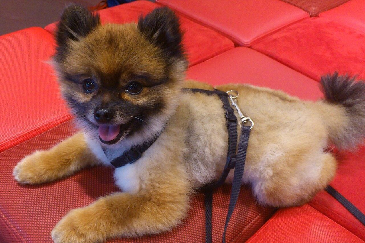 Brown Pomeranian puppy on red mat