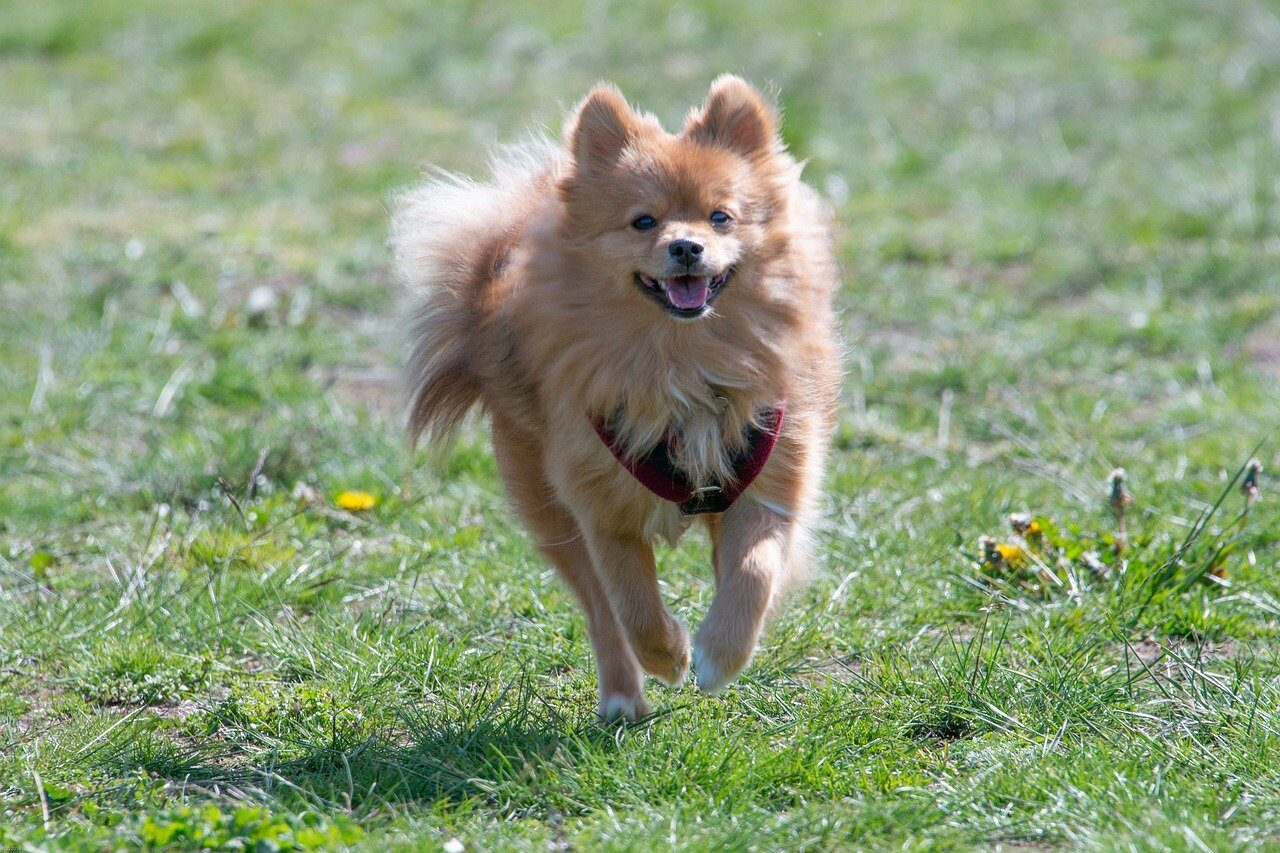 Brown Pomeranian running and exercising
