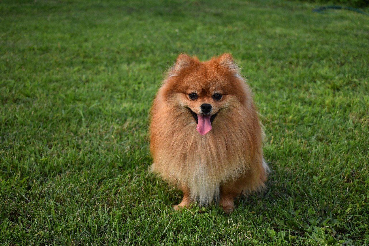 Brown Pomeranian sitting on grass