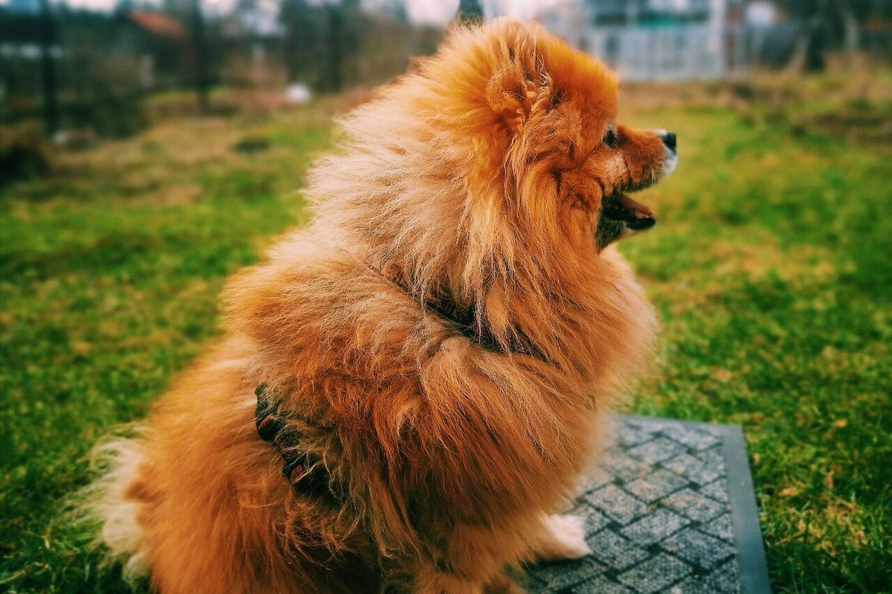 Brown Pomeranian standing in back yard