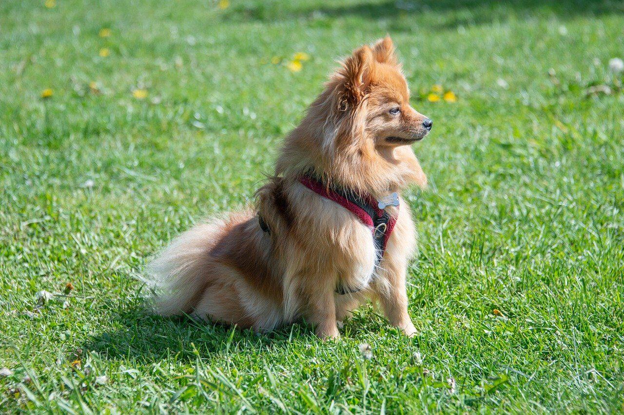 Brown Pomeranian standing on grass