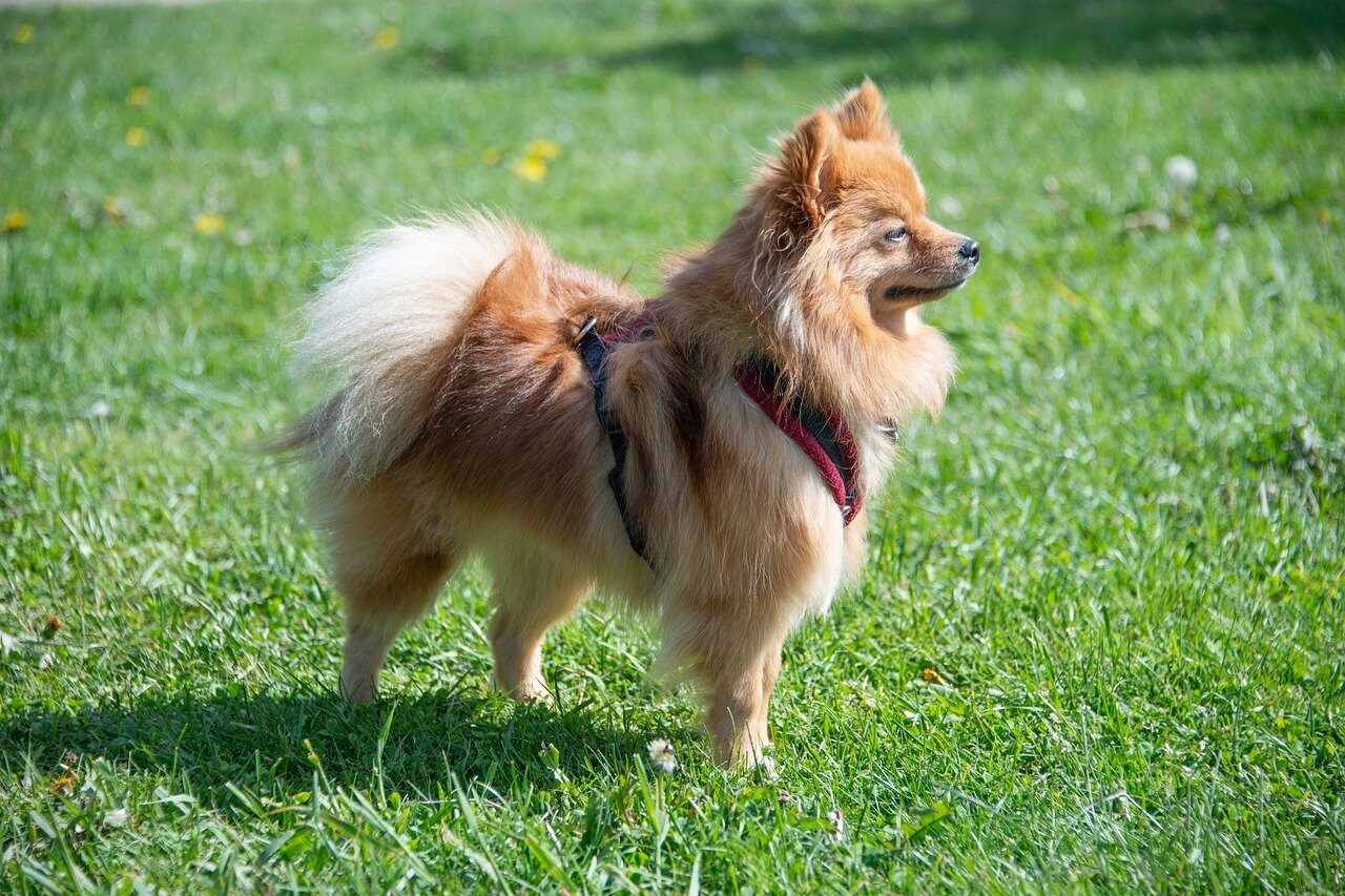 Brown Pomeranian standing on grass looking