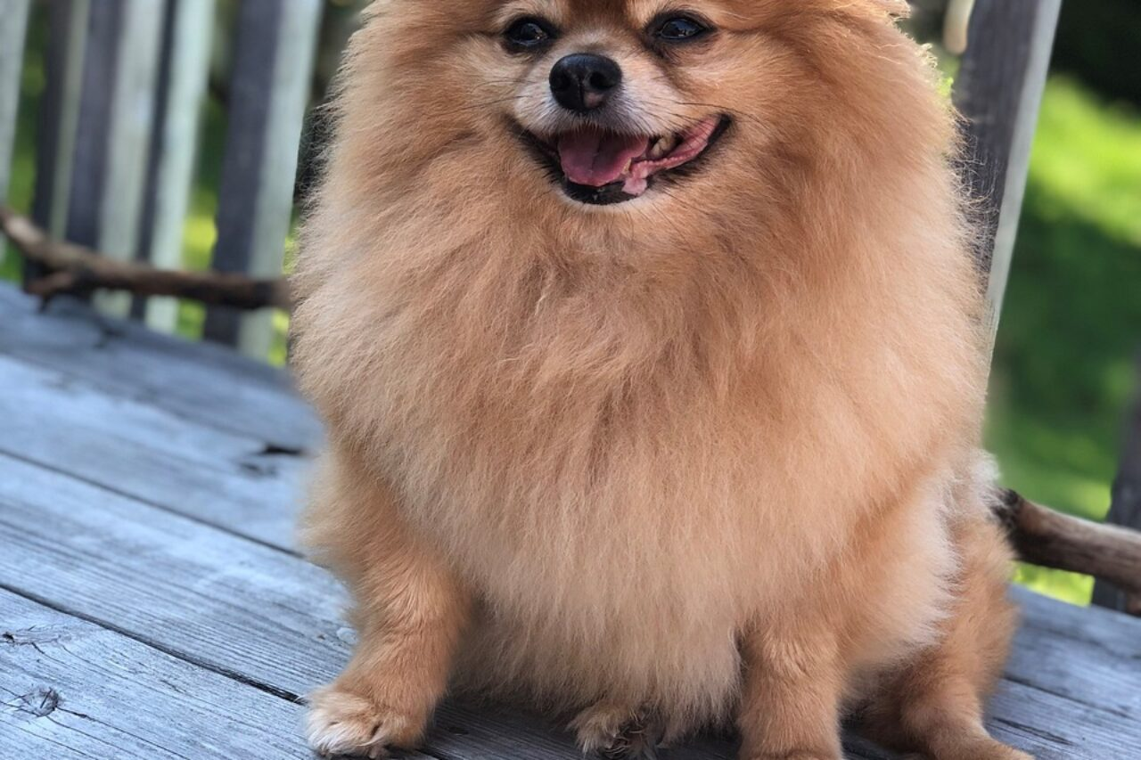 Brown Pomeranian standing on park bench