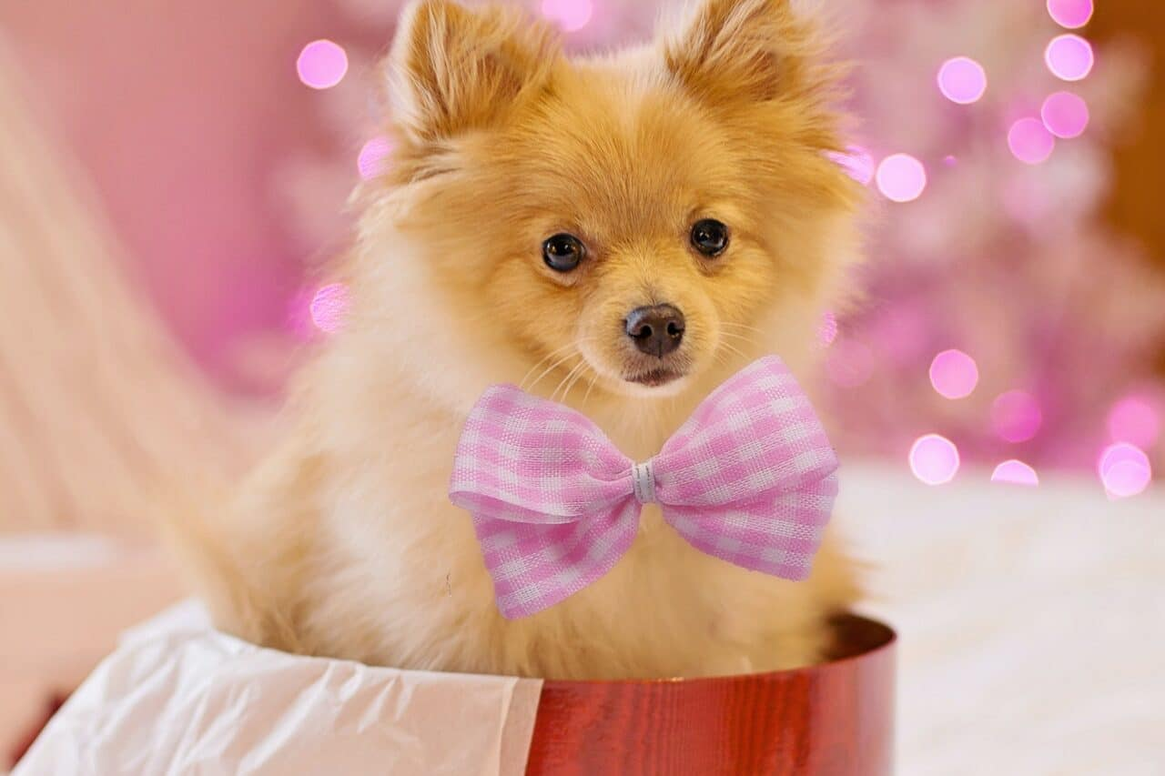 Brown Pomeranian with pink bow tie in bucket