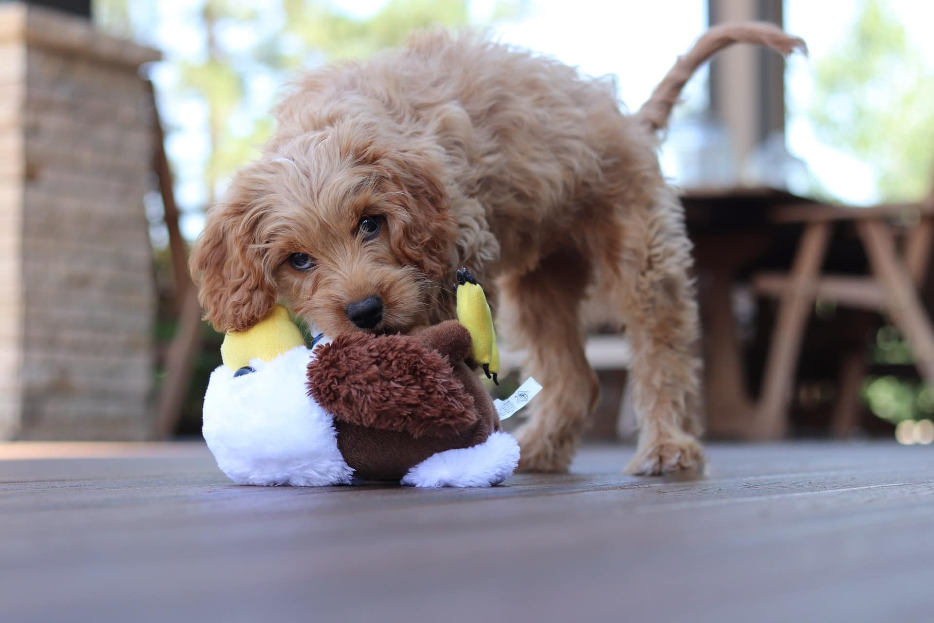 Cavapoo biting and playing with toy