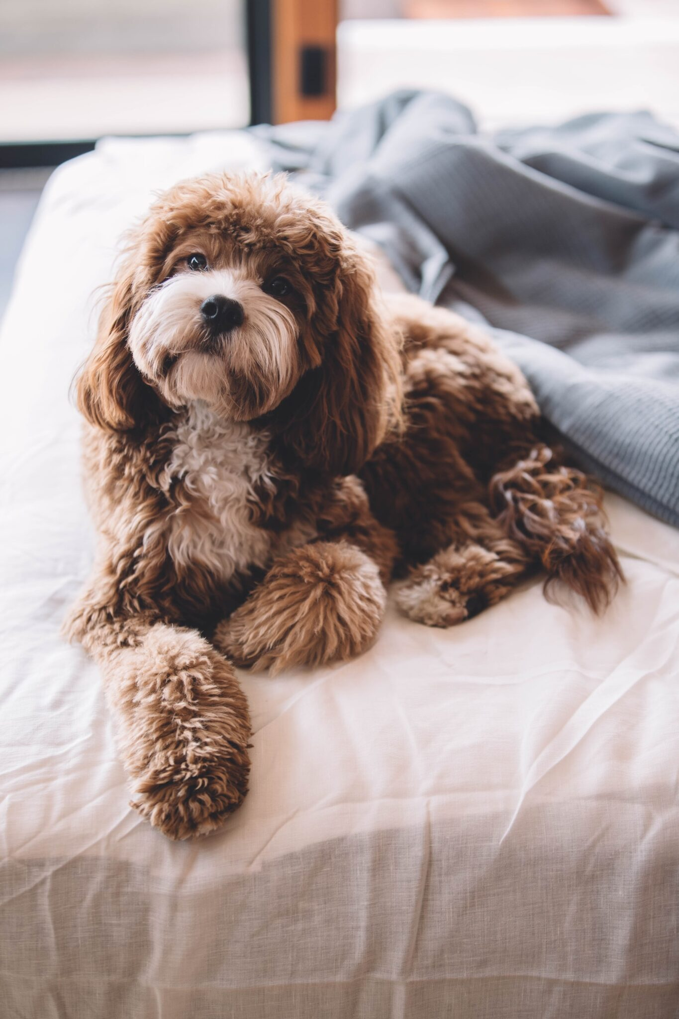 Cavapoo laying on owner bed