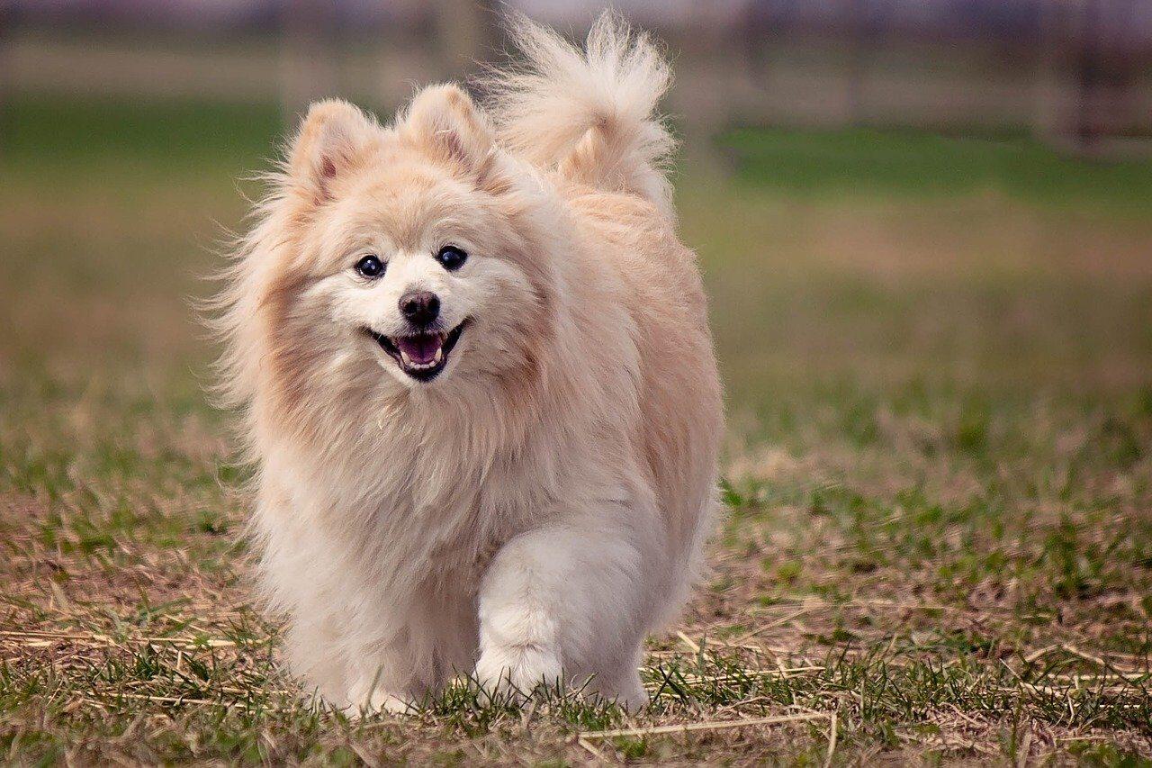 Cream Pomeranian dog walking