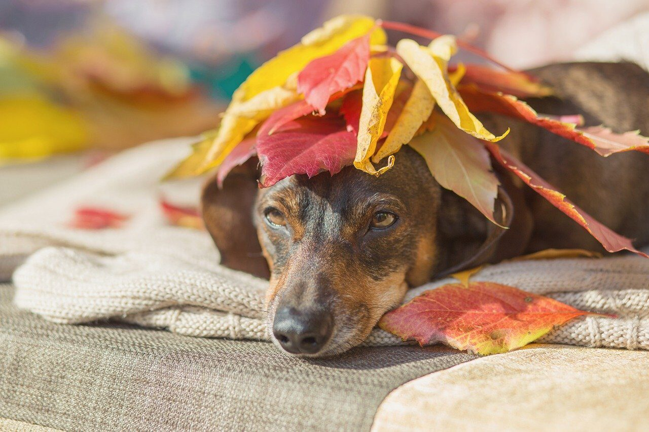 Dachshund laying on couch with leaves on head