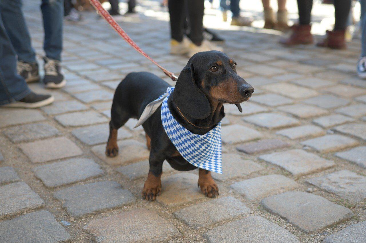 Dachshund puppy with scarf