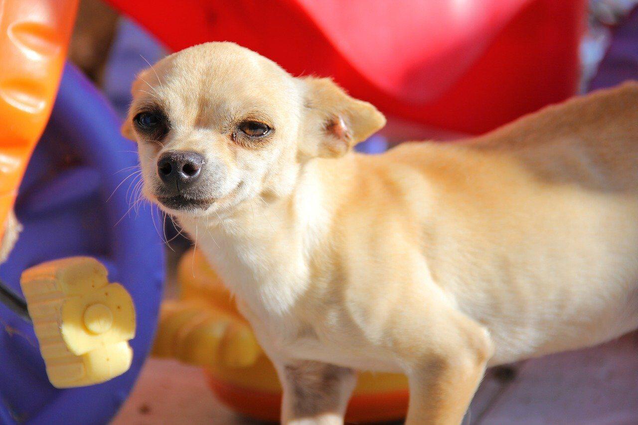 Dachshund sausage puppy dog