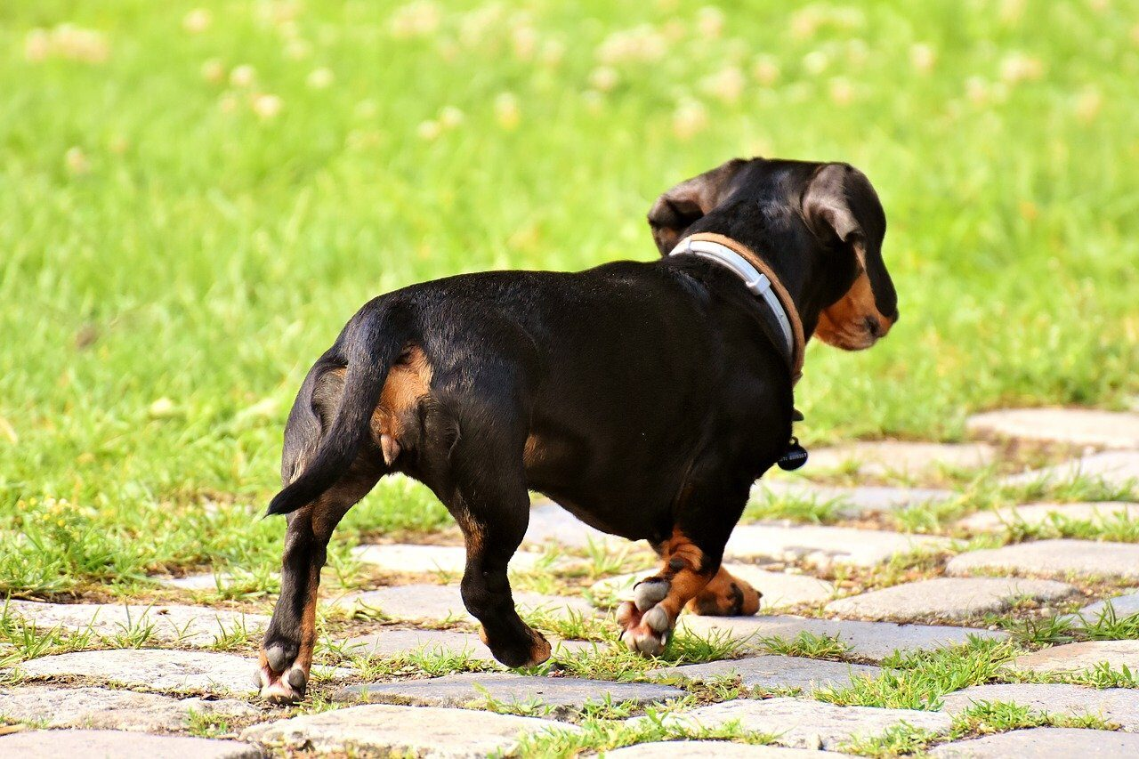 Dachshund walking on path