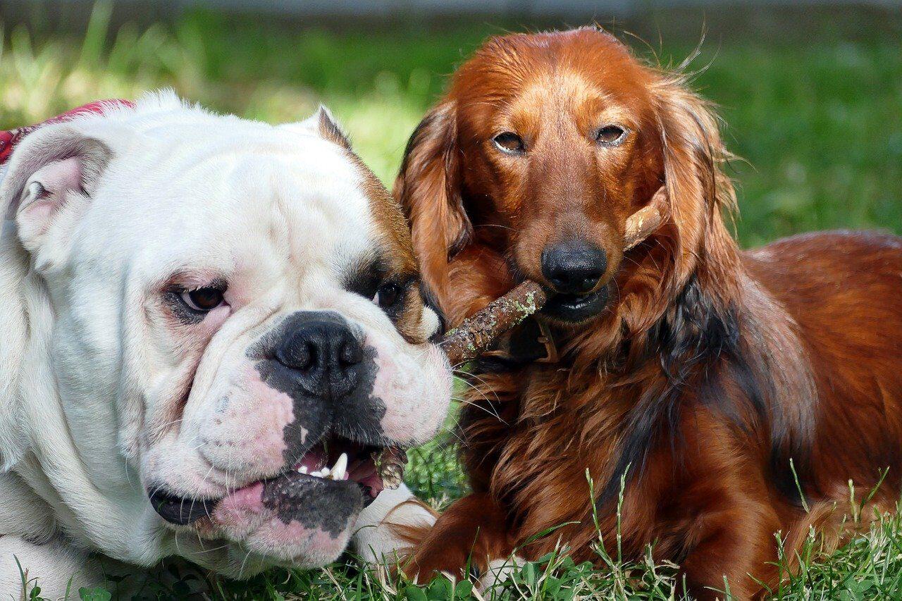 Dachshund with English Bulldog