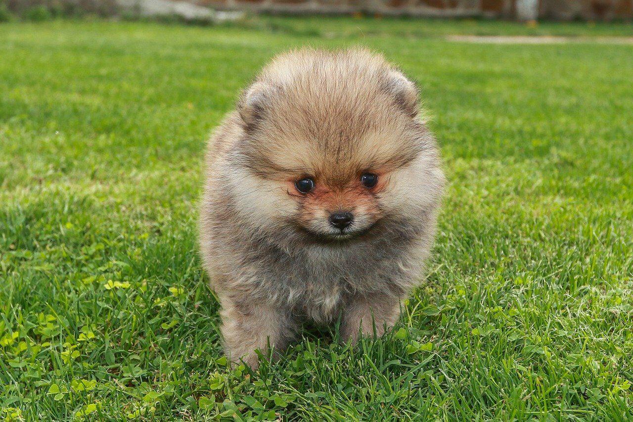 Gray Pomeranian puppy