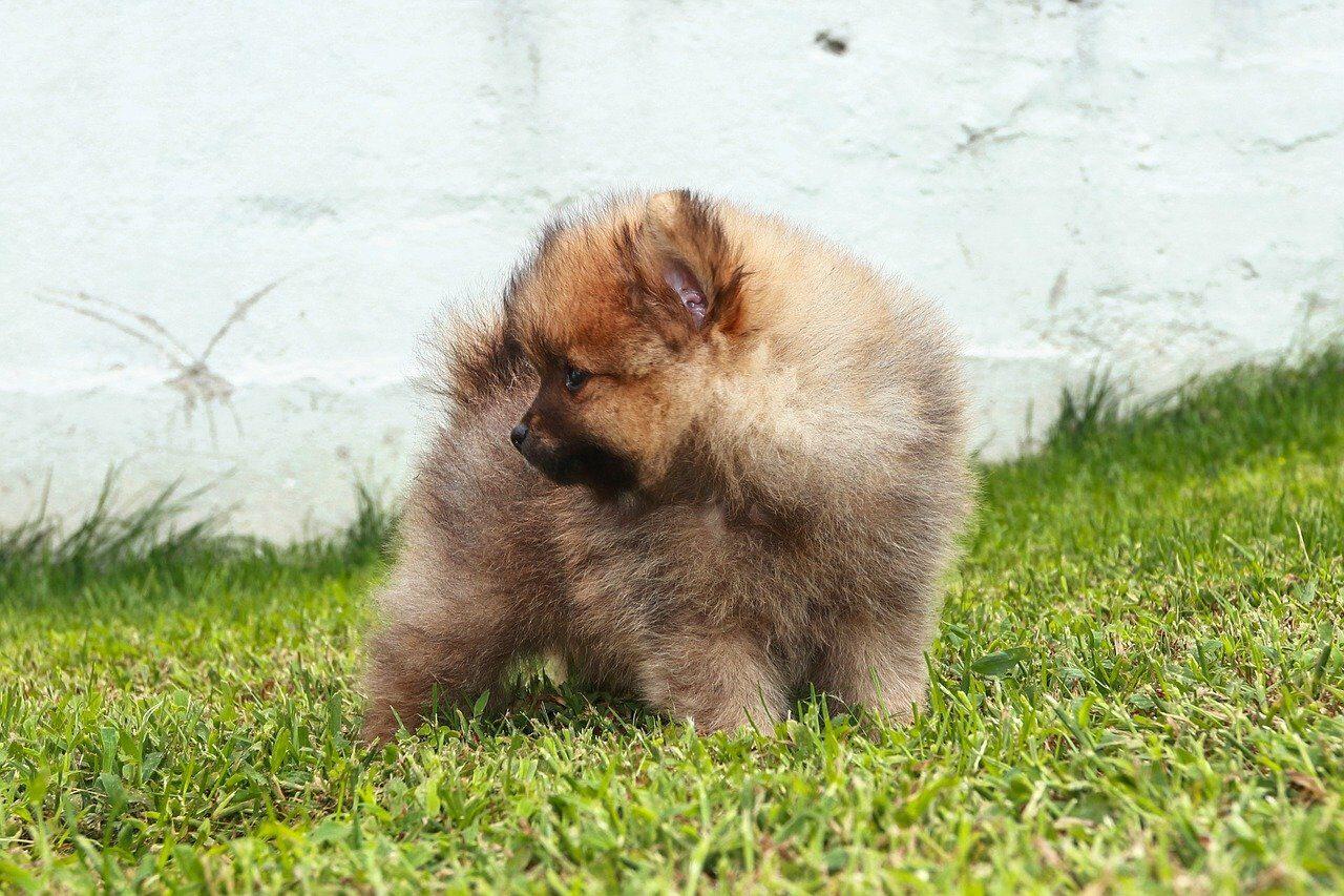 Gray Pomeranian puppy on grass
