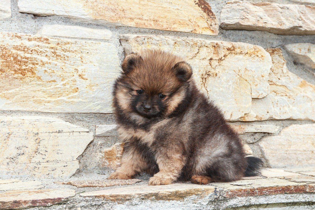 Gray Pomeranian puppy sitting on walk