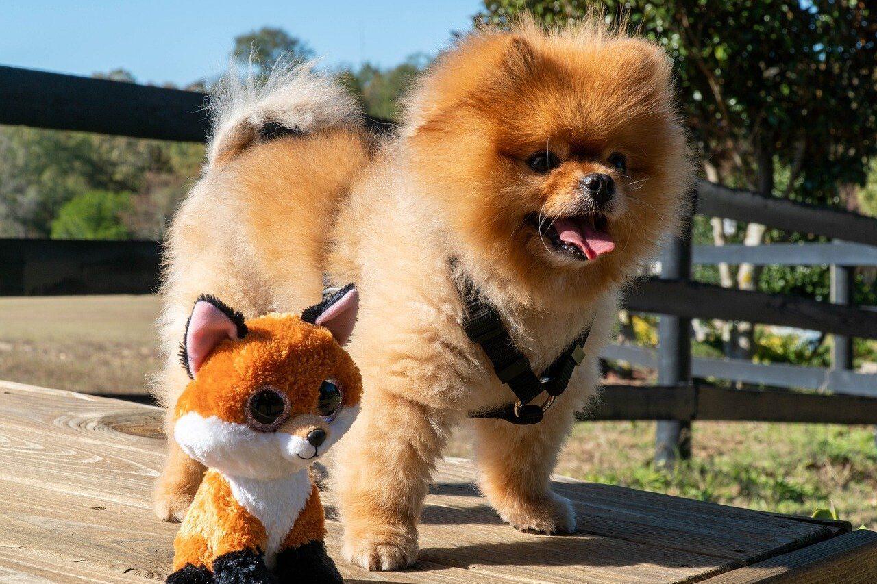 Pomeranian standing beside a toy dog