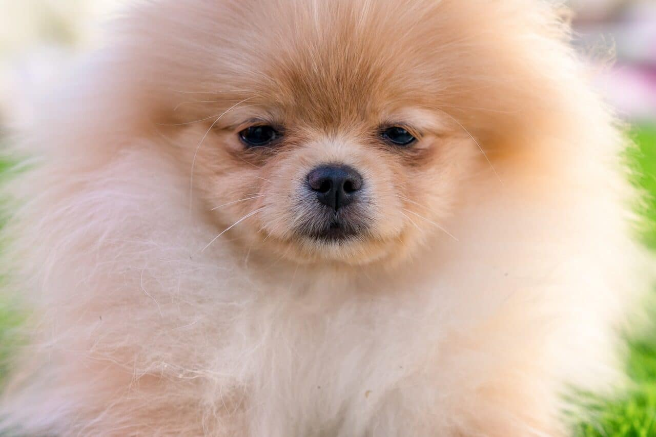 White Pomeranian close up