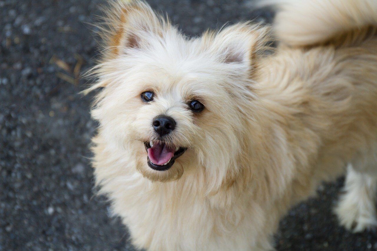White Pomeranian looking at owner