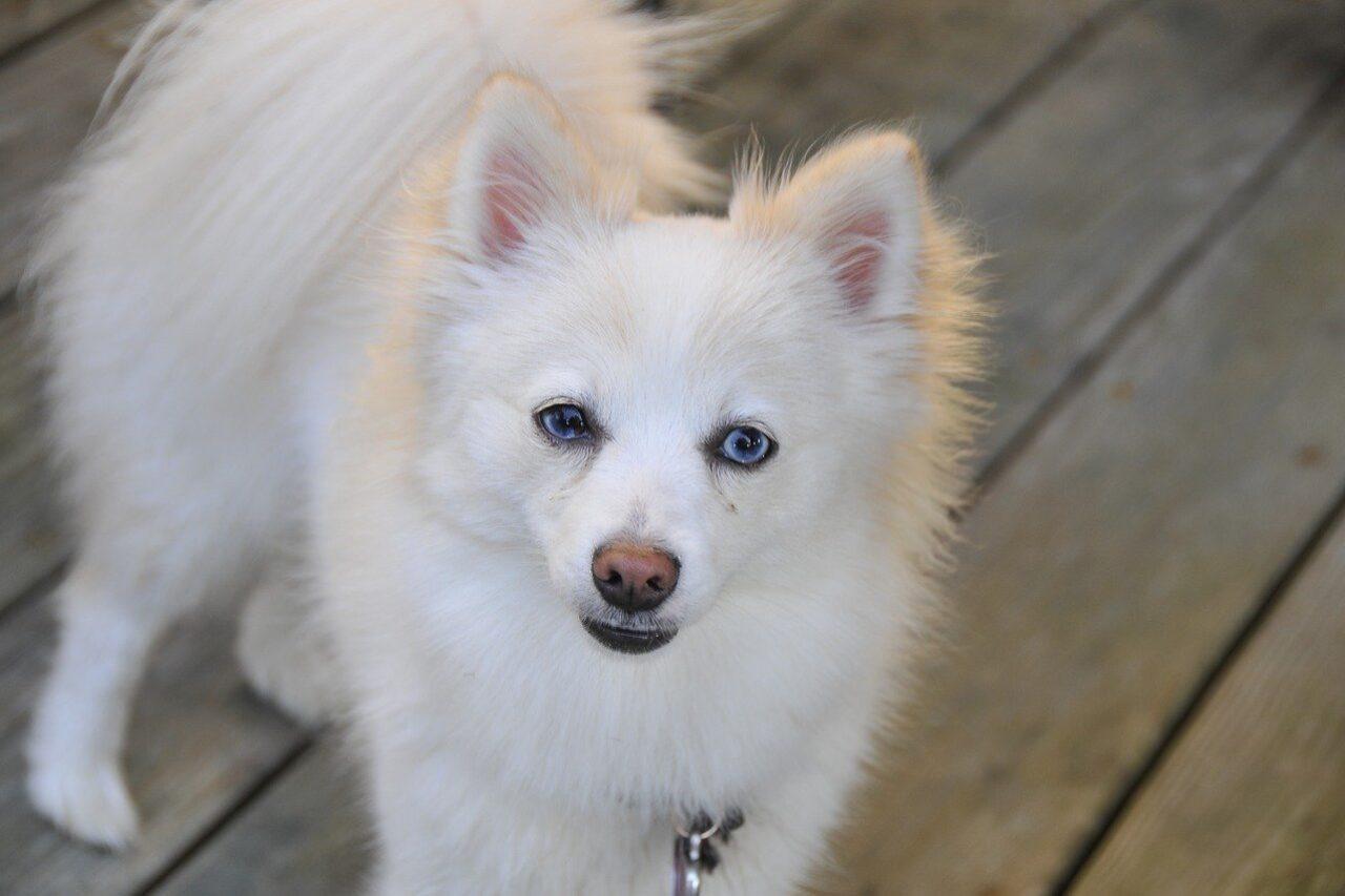 White Pomeranian standing on boardwalk