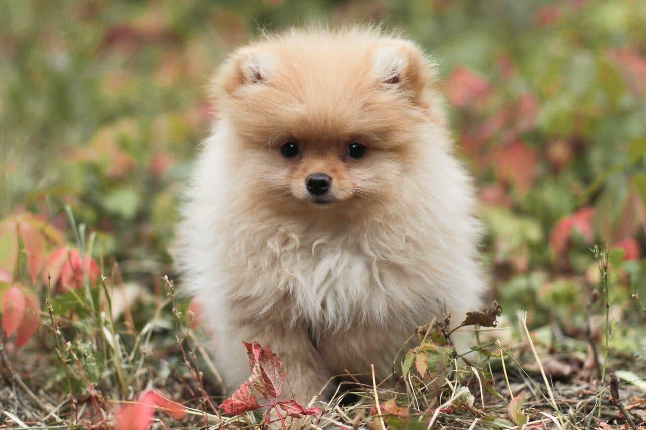 White Pomeranian walking in grass