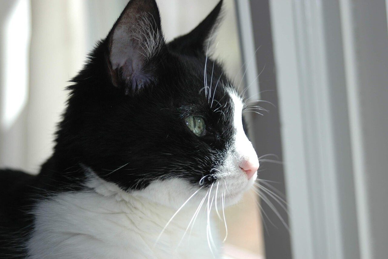 Tuxedo cat looking through window