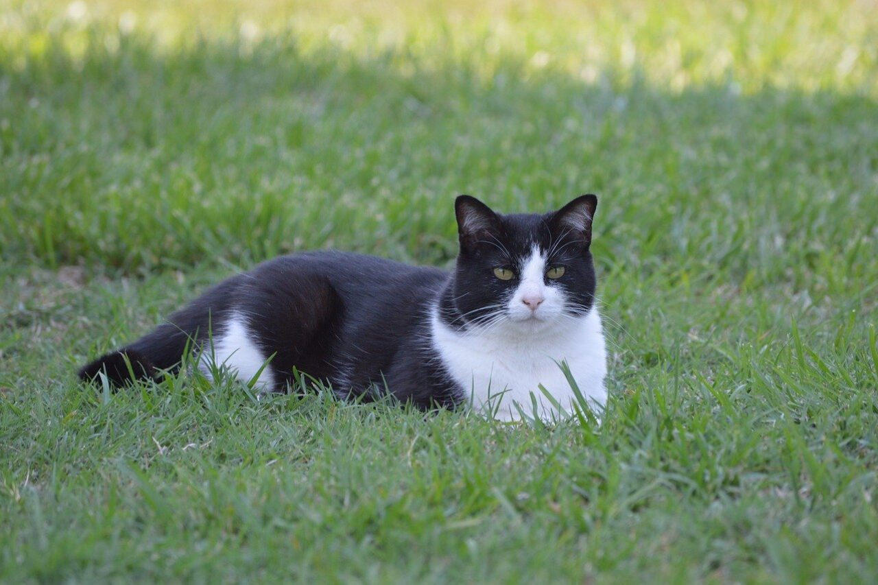 Tuxedo cat laying on grass