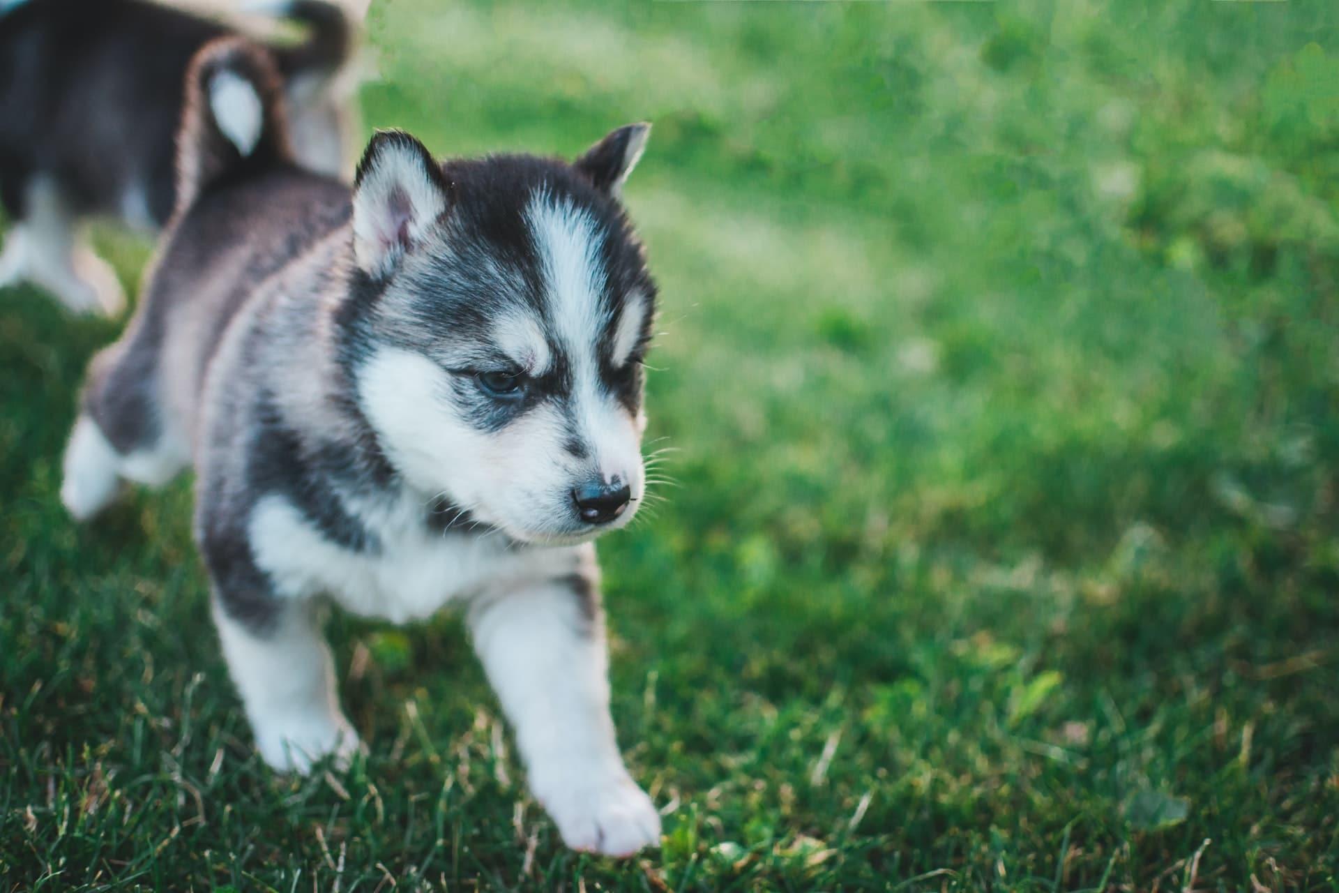 Gray-white-black miniature husky walking outside