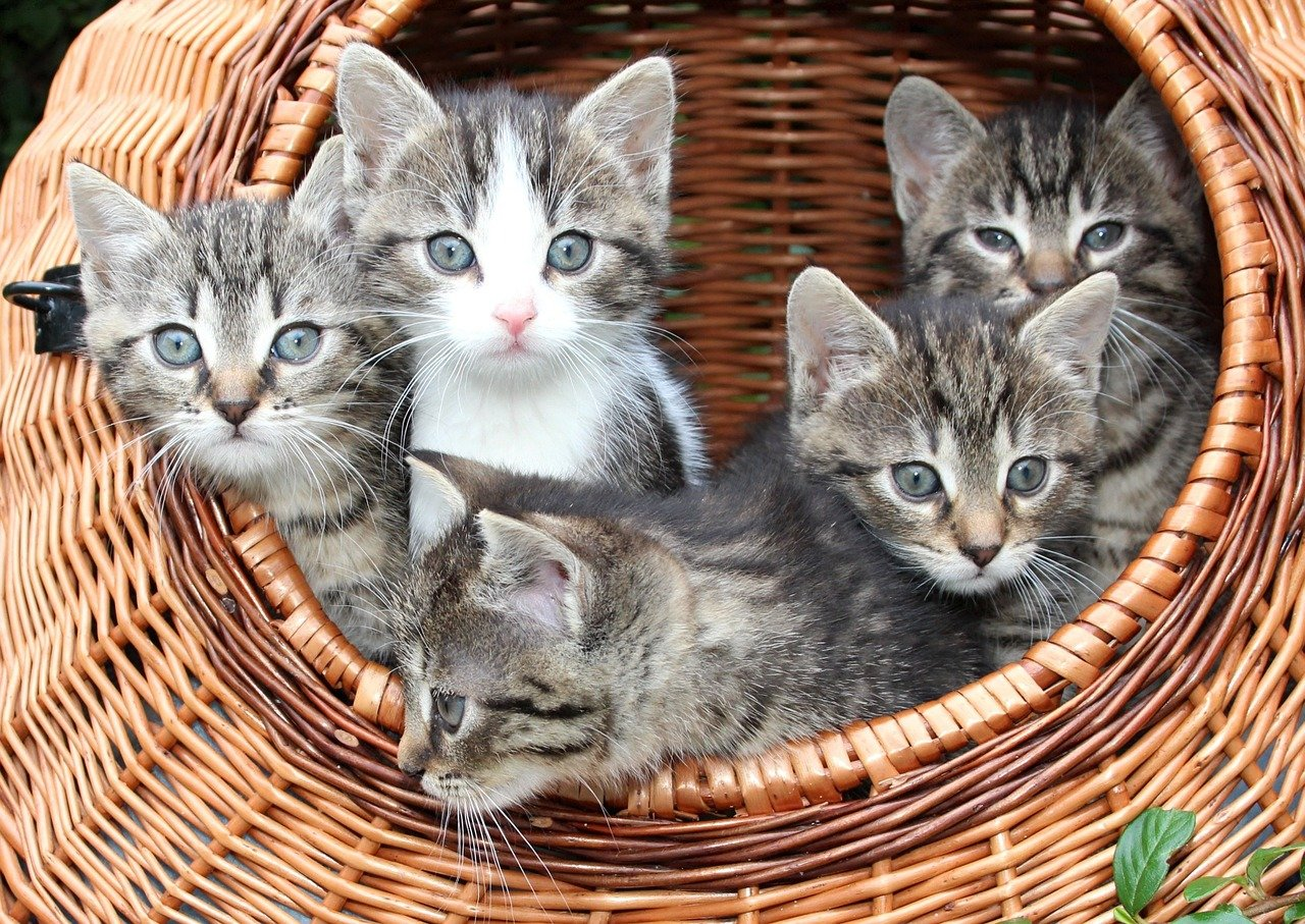 Gray cats in a brown basket