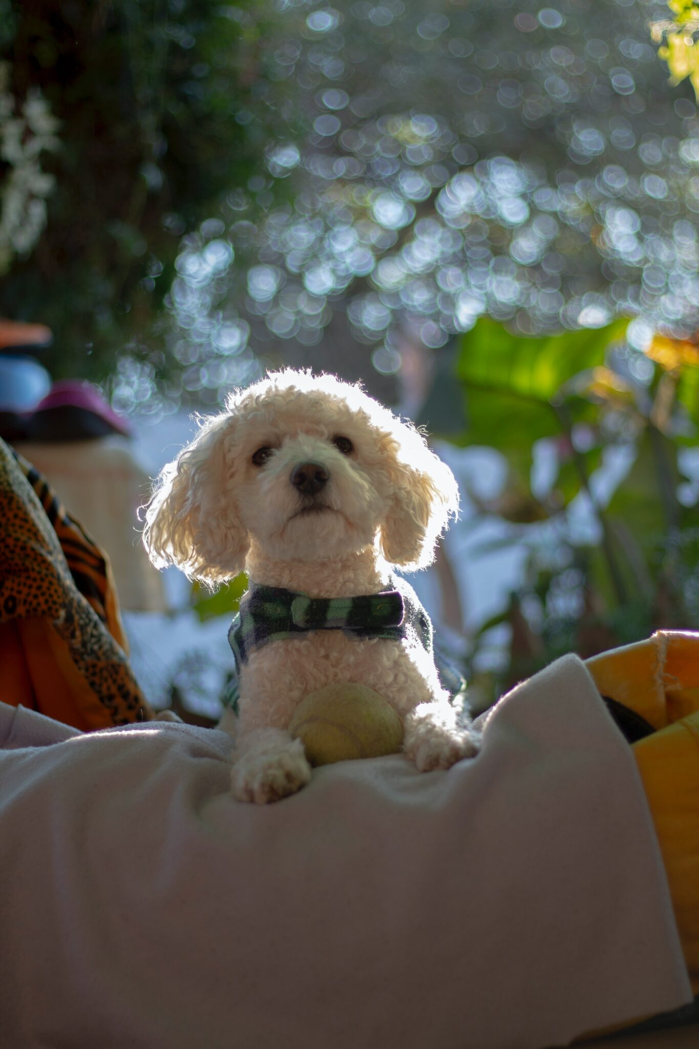 White cockapoo puppy standing and looking