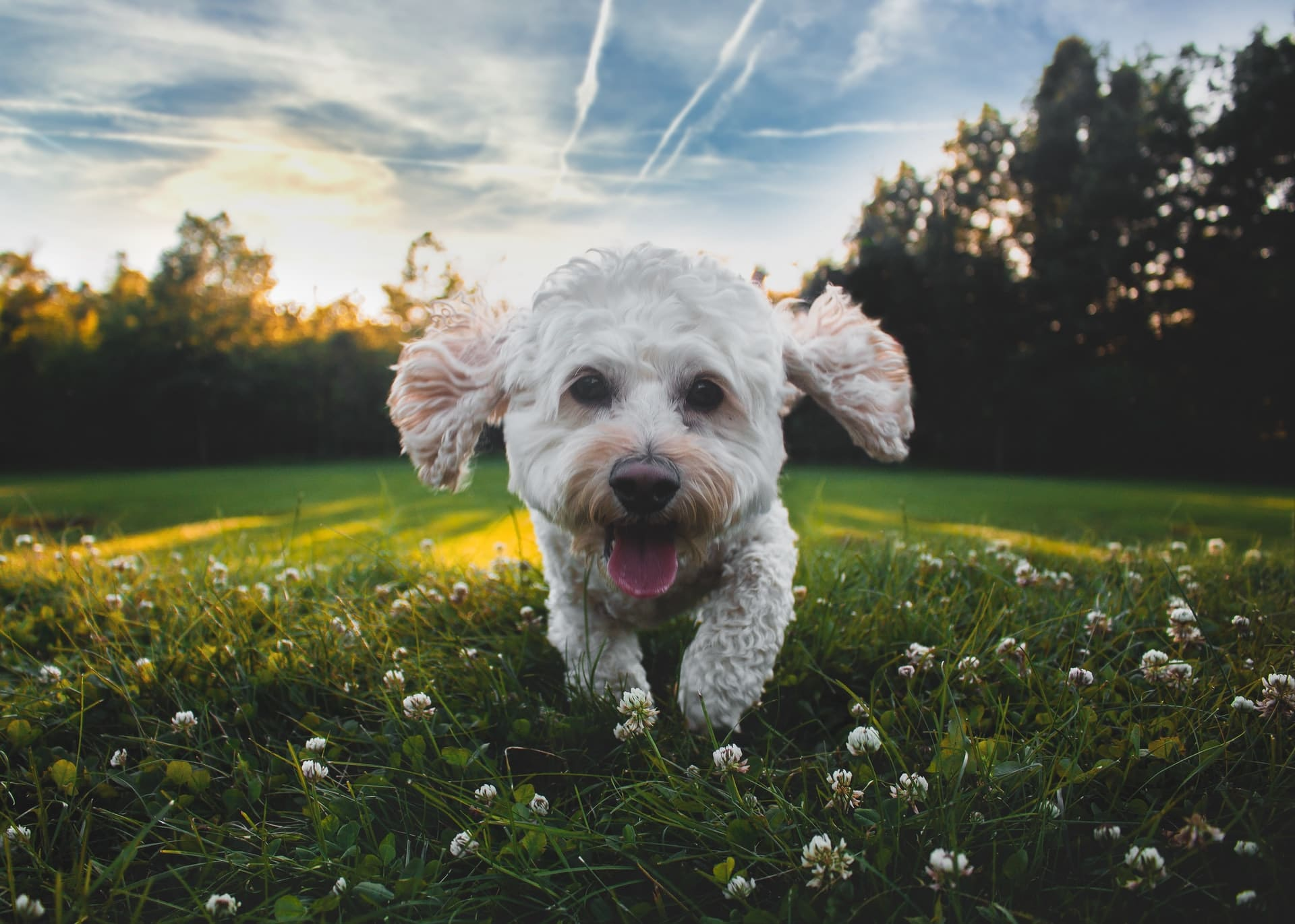 White cockapoo puppy on grass outside