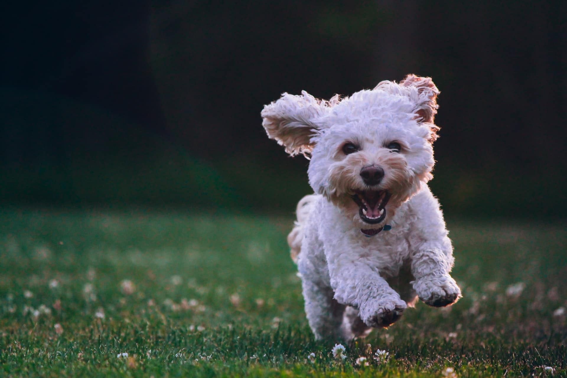 White cockapoo puppy playing outside