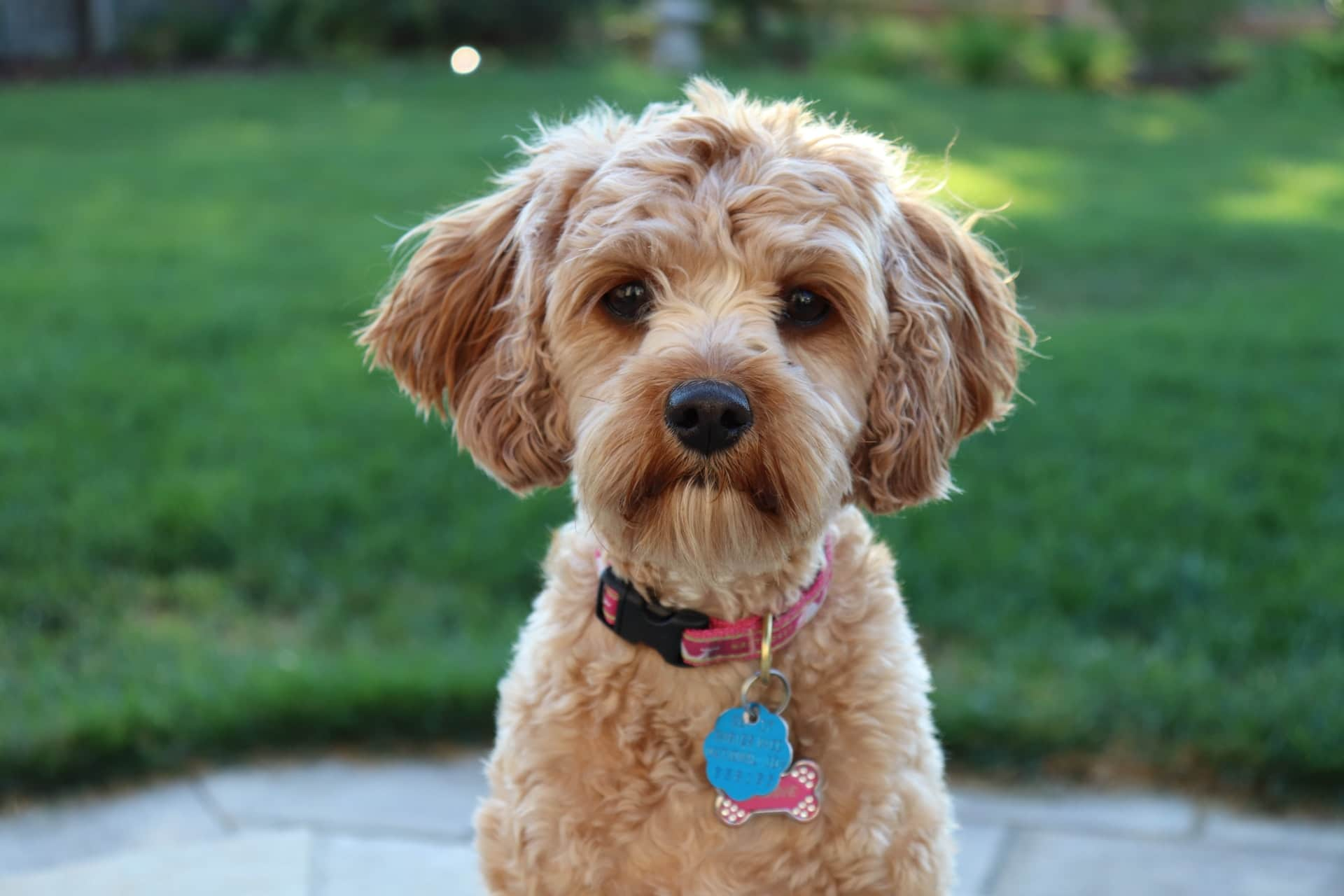 Cute brown cavapoo puppy outside
