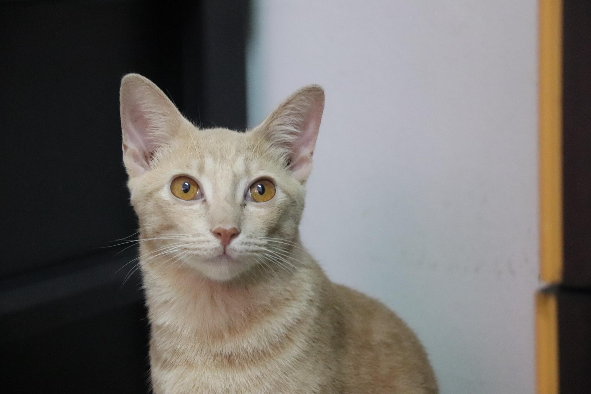 Singapura cat looking at camera