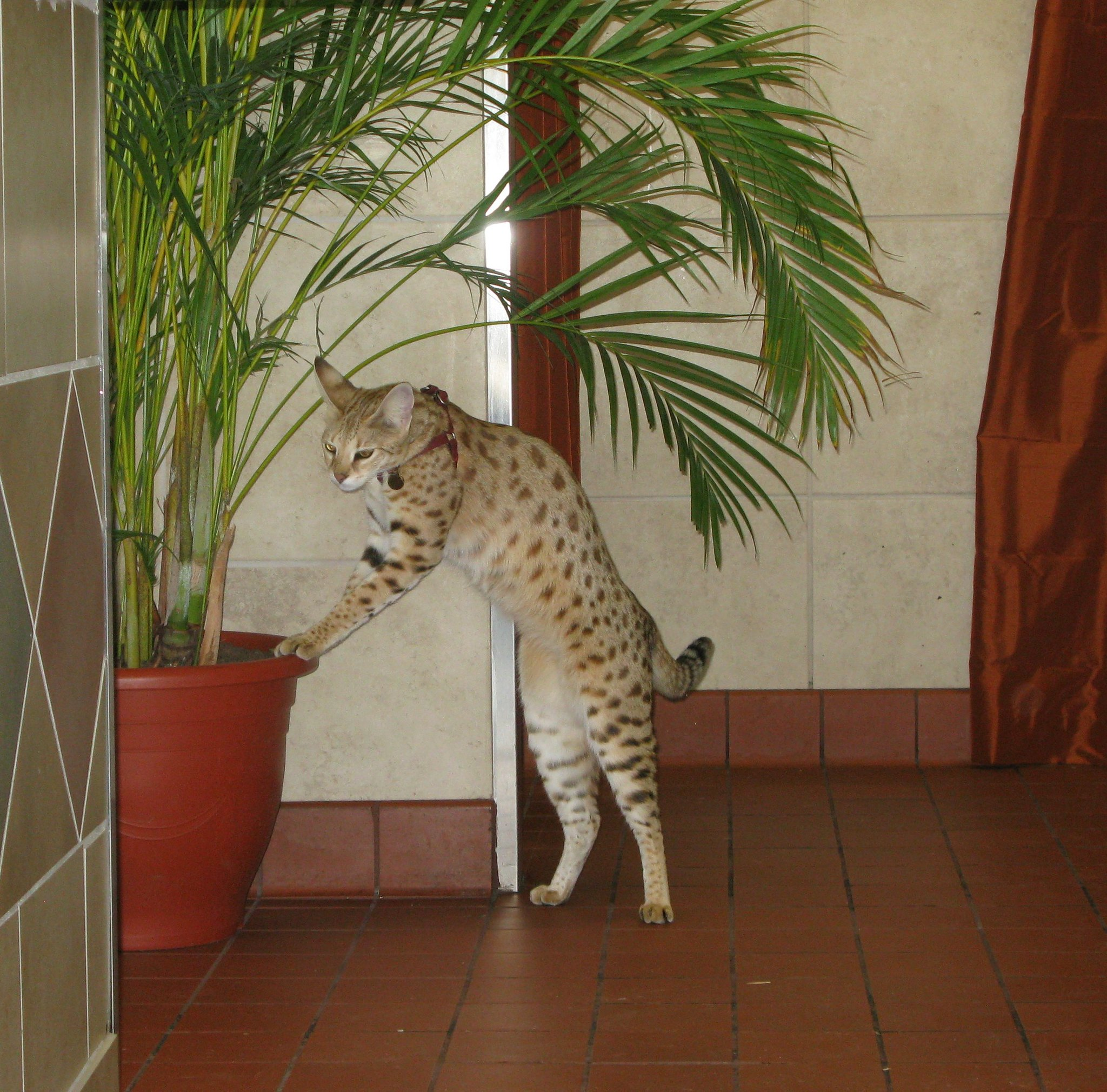 Savannah cat playing with flower pot