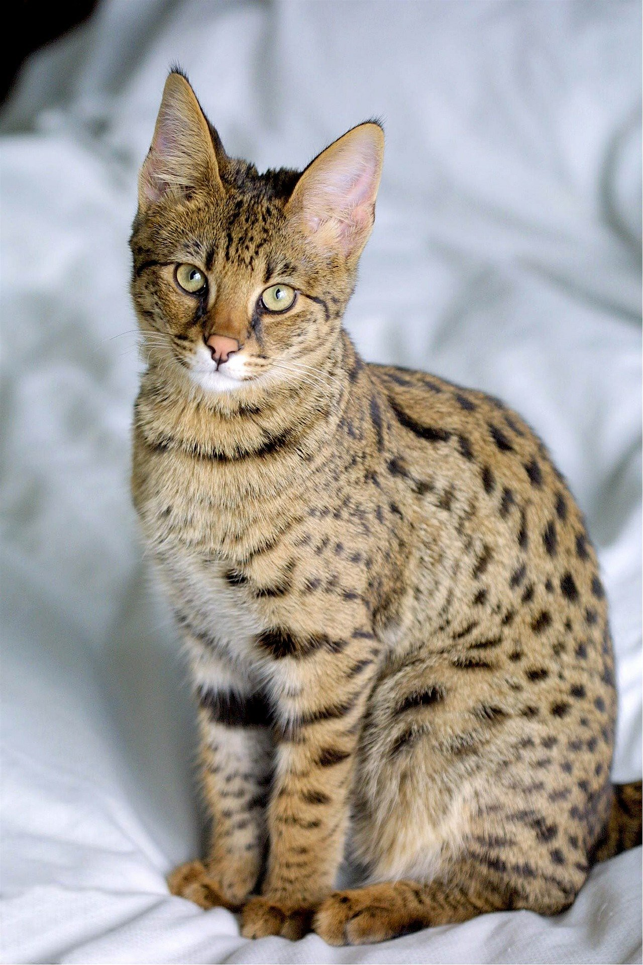 Savannah cat standing on bed