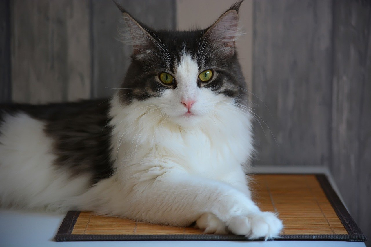Main Coon cat laying on mat